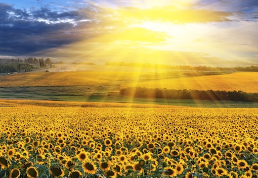 Sunlight-on-a-Sunflower-Meadow-Fotolia_39907923a.jpg